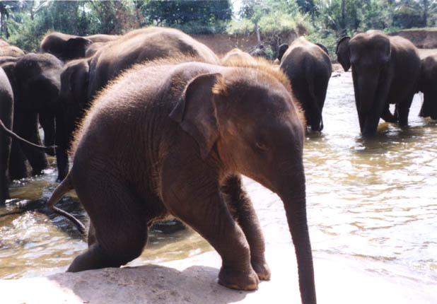 elephant calf in Sri Lanka